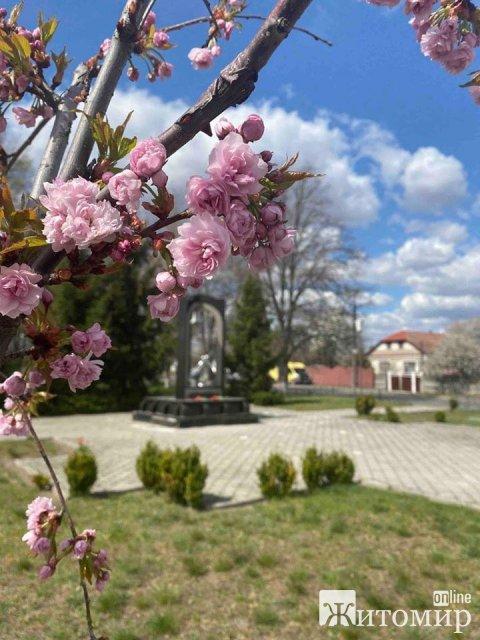 Біля школи мистецтв у Малині комунальників висадили японські дерева. ФОТО