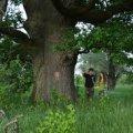 На Житомирщині ростуть унікальні дуби віком 4-6 століть