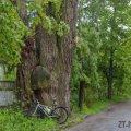 Стара верба, яку знайшов житомирянин на околиці міста, не може входити до десятки найстаріших дерев України