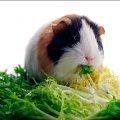 Харчування морських свинок