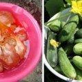 Цибулеве лушпиння — натуральне добриво для гарного врожаю огірків