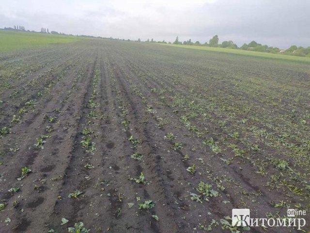На Житомирщині град побив овочі, посіяні підприємством. ФОТО