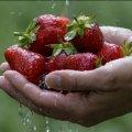На Житомирщині через неврожай зібрали вдвічі менше полуниці
