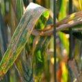 На Житомирщині 7% посівів пшениці уражені септоріозом