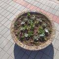 Біля міськради в Житомирській області невідомі особи викрали близько 140 штук посаджених квітів. ФОТО