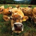 На Житомирщині за рік поменшало великої рогатої худоби, а побільшало свійської птиці