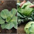 Яке добриво потрібно внести під капусту, щоб качани були гарні та великі