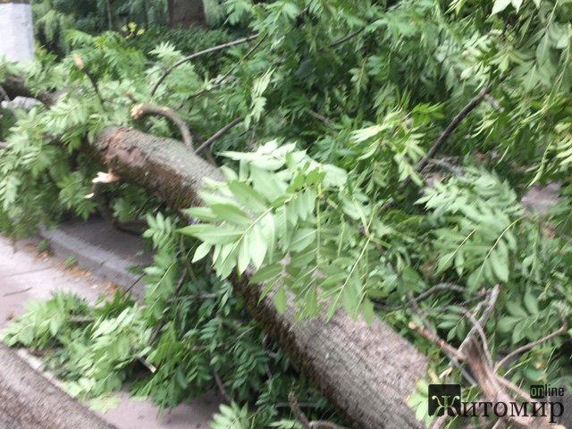 У центрі Житомира впало величезне дерево. ФОТО