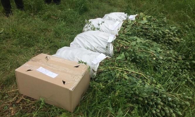 Правоохоронці «полють» городи жителів Житомирської області: вирвали майже 1400 рослин маку, зібрали коноплю в парнику