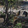 В Ботсване массово гибнут слоны: у них заподозрили COVID-19