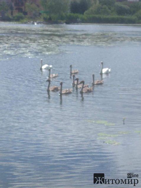 На озеро в Житомирському районі повернулись лебеді. ФОТО