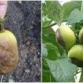 Чому чорніють зелені помідори, та як цього уникнути. Поради для городників