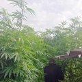 У Житомирському районі чоловік виростив плантацію коноплі, яка досягала 3 метрів