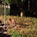 До житомирян в гості на дачу приходять лисиці. ВІДЕО