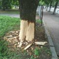Чим заважають священнослужителю два каштани на вулиці Великій Бердичівській? ФОТО