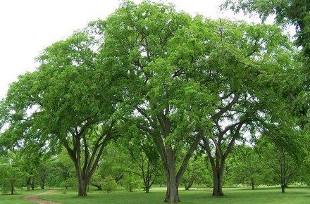 На Житомирщині дерева, яким майже 200 років, оголосять пам'яткою природи