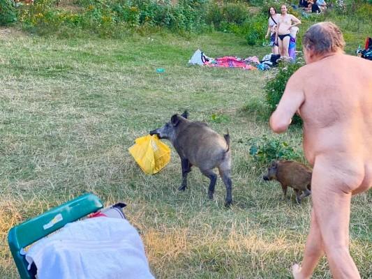 Кабанчиків, за якими у Берліні ганявся голий чоловік, хочуть приспати