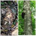 У лісах під Житомиром ростуть рідкісні гриби. ФОТО. ВІДЕО
