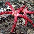 В лесах Украины нашли редкие грибы - пальцы дьявола
