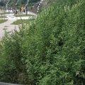 У житомирському парку - бур'яни розміром з людину. ФОТО