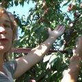 Садівниця-любителька у центрі Житомира вирощує екзотичні фруктові дерева