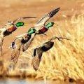 На вихідних у Житомирській області розпочинається сезон полювання на качок