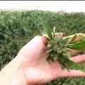 На Житомирщині в кукурудзі молодик виростив цілу наркоплантацію