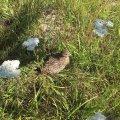 На Коростенщині оселилися «царські птахи»