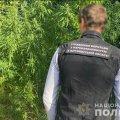 На Житомирщині чоловік виростив коноплі на 120 тисяч гривень