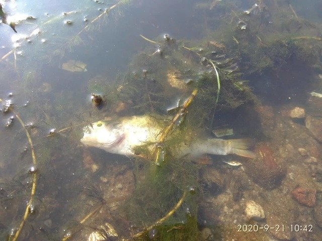 У Житомирі на річці Тетерів через скид невідомої речовини загинула риба. ФОТО