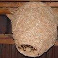 На горищі в селі Житомирської області виявили кубло небезпечних комах