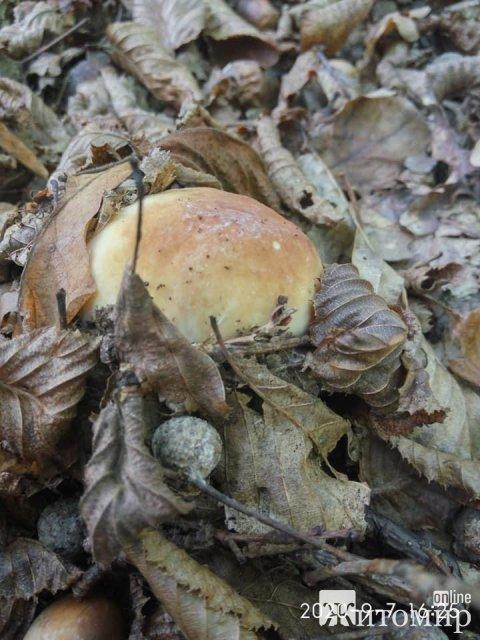 На Житомирщині з'явились осінні гриби. ФОТО
