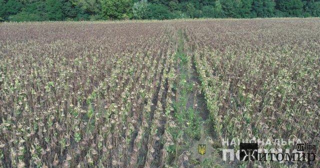У Бердичівському районі в соняшниках виросла плантація конопель. ФОТО