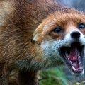 З початку року в Житомирській області виявили більше 20 тварин, які були хворі на сказ