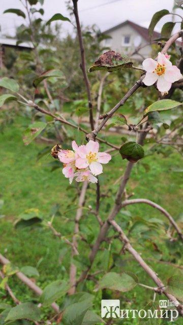 У жовтні в селі біля Житомира зацвіла яблуня. ФОТО