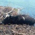 У селі Житомирської області з річки за допомогою маніпулятора витягували корову