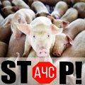 У психоневрологічному інтернаті на Житомирщині виявили африканську чуму свиней