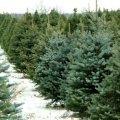 Житомирські лісівники вже підготували до продажу майже 400 тисяч новорічних дерев
