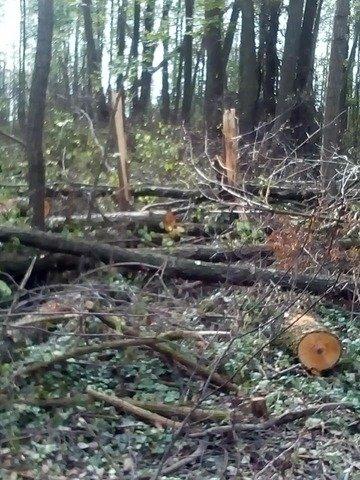 На Житомирщині незаконно зрізали 151 дерево. ФОТО