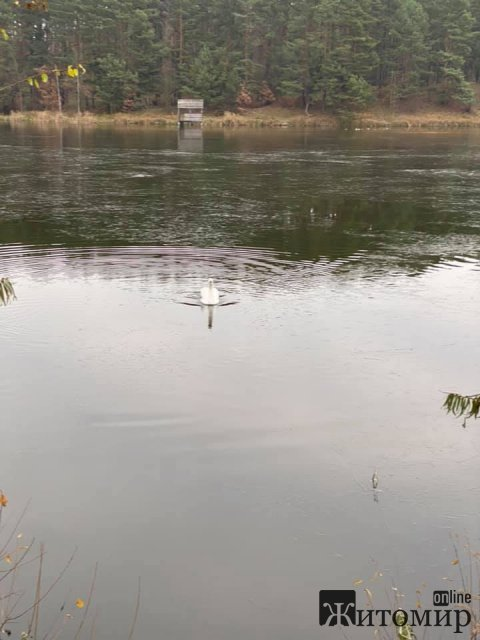 Біля Житомира на водоймі замерзає лебідь. ФОТО