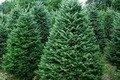 У лісах Житомирщини зафіксовано 25 спроб заволодіти ялинками безкоштовно