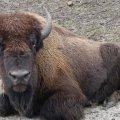 В эко-парке под Киевом стадо бизонов напало на людей. ФОТО
