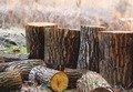 На Житомирщині керівник лісгоспу створив дві злочинні групи для нелегальної вирубки дерев
