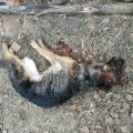 У селі на Житомирщині чоловік заманював до себе собак та вбивав, каже - для подальшого споживання