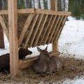 Як лісівники Житомирщини під час морозів підгодовують диких тварин. ВІДЕО