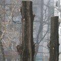 """Влада міста їздила дивитись на """"кроновані"""" дерева в Житомирі. ФОТО"""