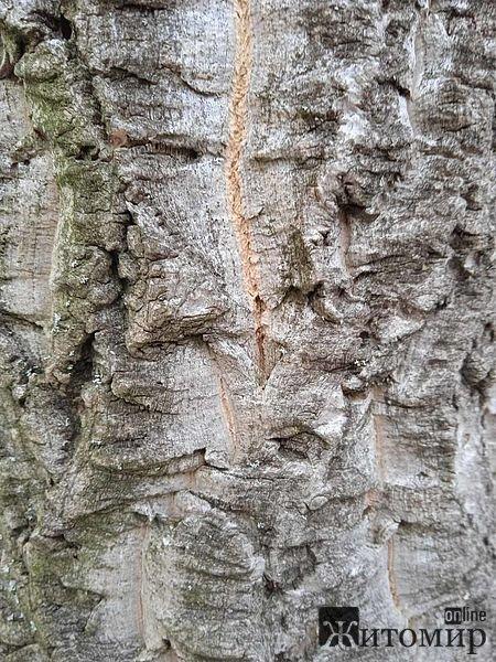 На території одного з лісництв у Житомирській області росте дерево, яке родом з Китаю. ФОТО