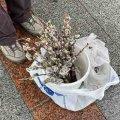 У Житомирі напередодні 8-го березня уже продають розквітлі котики. ФОТО