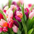 Скільки коштують тюльпани в Україні напередодні 8 березня: ціни вже кусаються