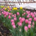Цьогоріч  житомирський «Зеленбуд» висадить  у місті  80 тисяч квітів